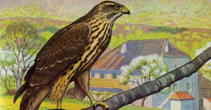 Uccello di apollo.Un astore adulto  (in primo piano) e un giovane, acquerello di Paul-A. Robert da «Les rapaces» di Paul Géroudet