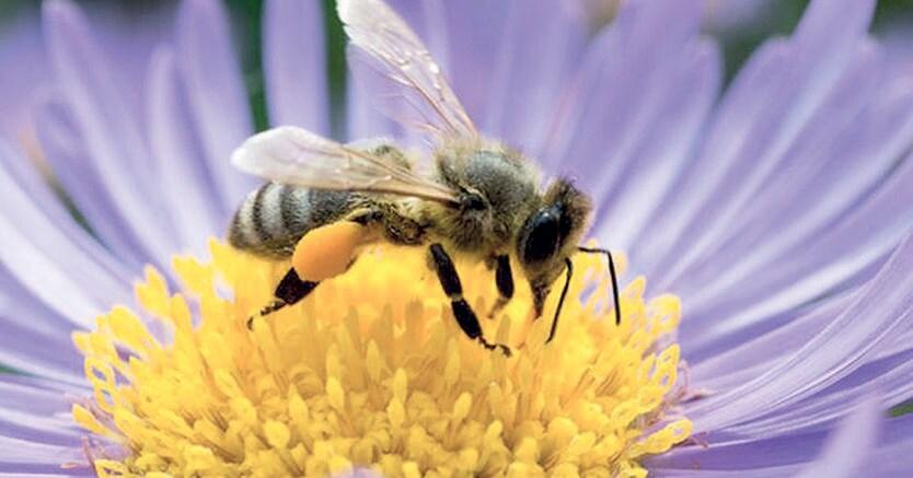 In una capocchia di spillo. Il cervello di un'ape ha un volume di un millimetro cubo e contiene meno di un milione di cellule nervose