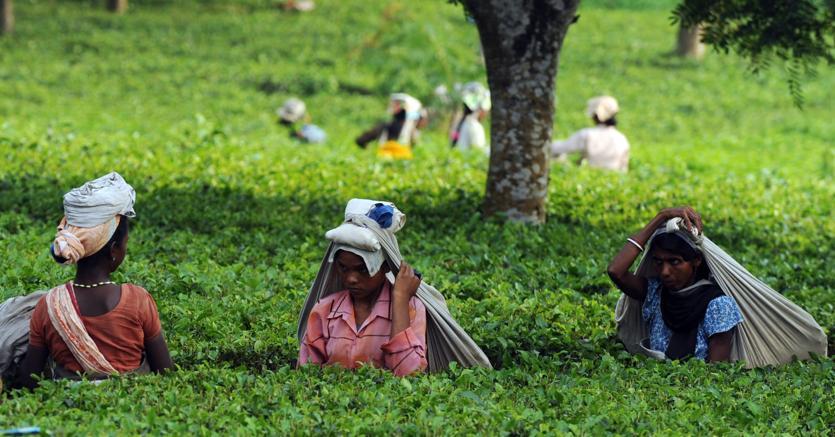 Donne indiane raccolgono le foglie  di tè vicino a Siliguri, nel West Bengala