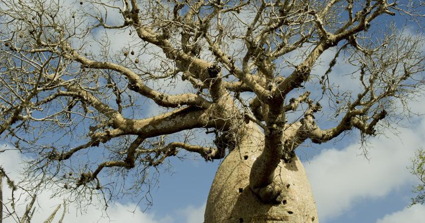Pianta di Baobab - Afp