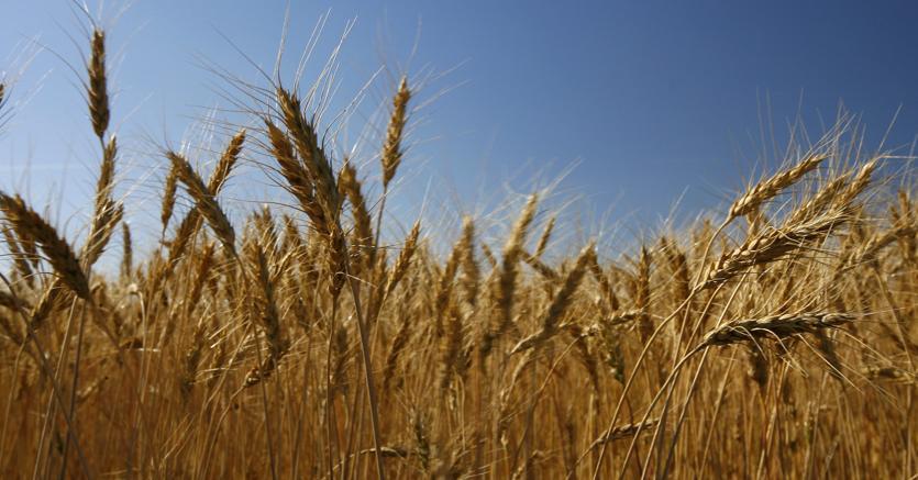 """Contratto con Barilla per il grano """"aureo"""" tarantino - Il Sole 24 ORE"""