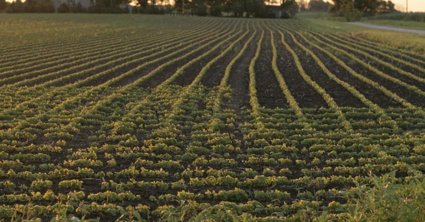 Coltivazione di soia (Olycom)