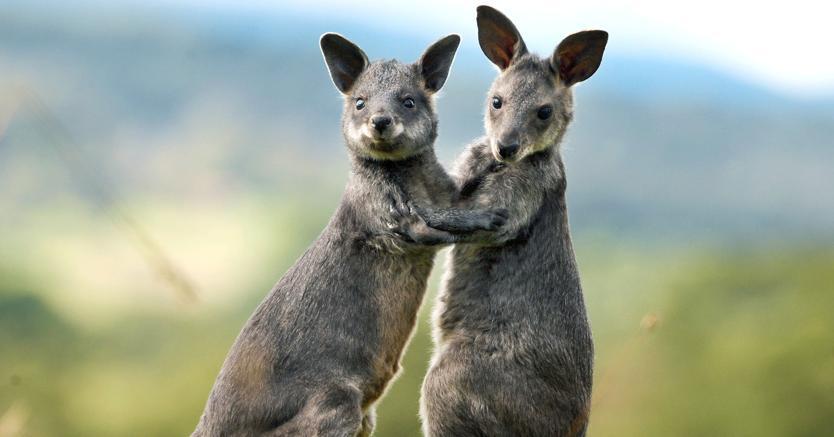 Risultati immagini per canguri
