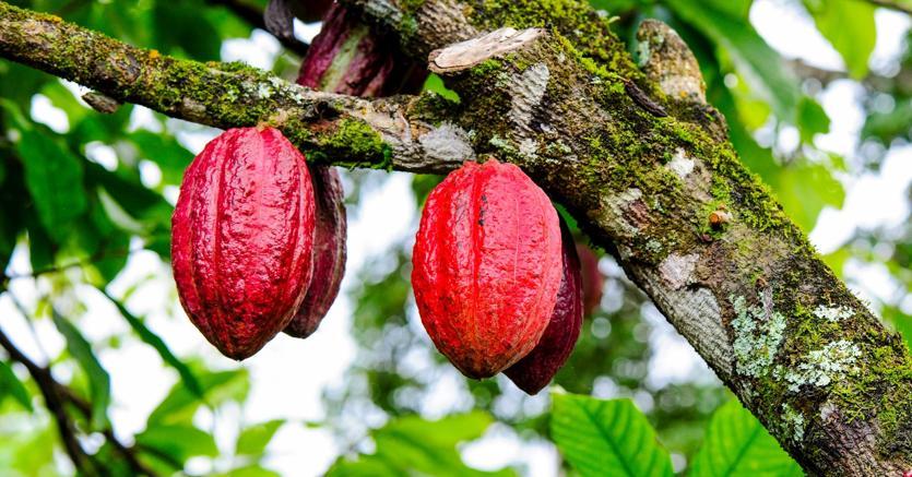 Coltivazione cacao (Marka)