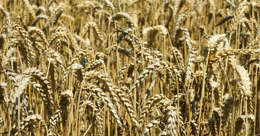 Il Kamut, coltivato in Canada e Usa, ma è l'Italia il maggior mercato mondiale
