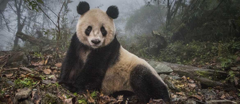 """Ami Vitale, """"I panda tornano selvatici"""" (Courtesy Galleria Carla Sozzani, Milano)"""