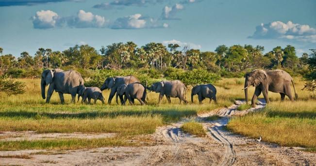 Nel parco del Chobe, in Botswana, si trova la più grande concentrazione di elefanti di tutta l'Africa (foto Mlestone Media)