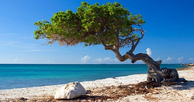 Eagle Beach, un divi-divi: così si chiamano gli alberi contorti con la chioma piegata a sudovest, nel verso in cui soffiano gli alisei, che sembrano quasi pietrificati e sono uno dei simboli di Aruba (foto Rubens Abboud / Alamy)