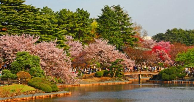 Giappone, la festa dei ciliegi in fiore