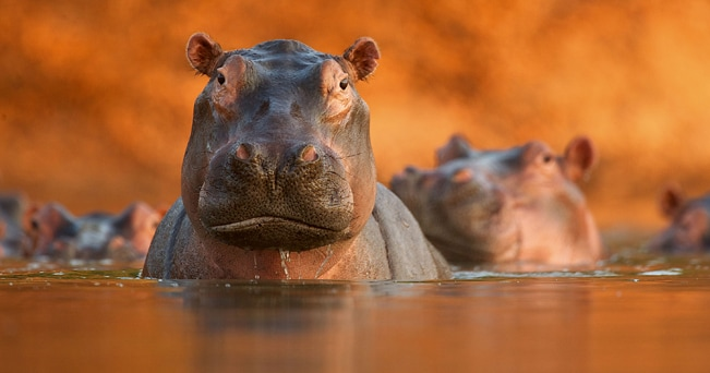 © David Fettes (UK) Pool of hippos Wildlife Photographer of the Year 2011