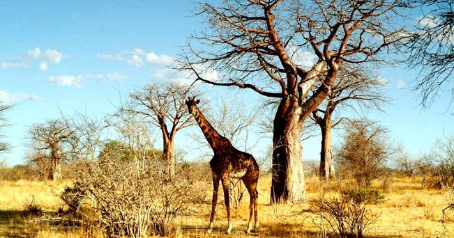 Una giraffa tra i baobab del Ruaha National Park (foto Aldo Pavan)