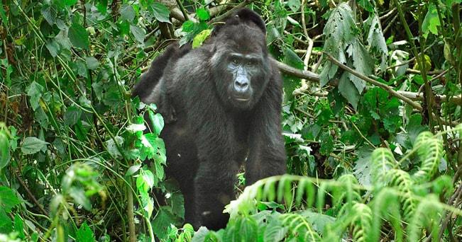 Un gorilla nelll'Impenetrable Forest di Bwindi (foto Aldo Pavan)