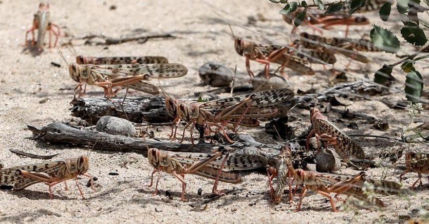 L'Africa sotto l'incubo delle locuste: a rischio 25 milioni di persone