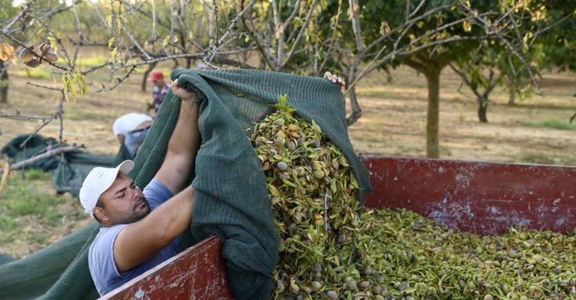 Boom delle mandorle, se ne vendono in un anno 8,5 milioni di kg per 130 milioni di euro