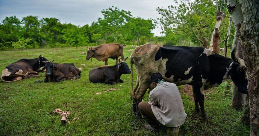 Cuba «liberalizza» allevamento e commercio della carne