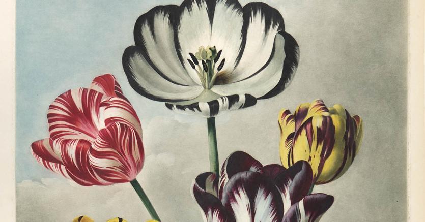 Natura di carta. Una tavola da «The Temple of Flora» di Robert John Thornton (1807)