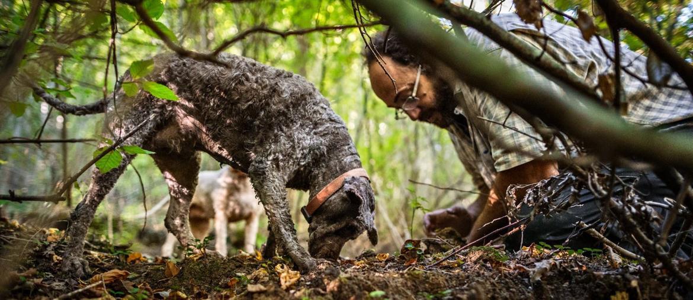 La ricerca del tubero si può fare con esperti cavatori, meglio affidarsi a chi ha un regolare patentino. Ma il fiuto del cane è indispensabile per il buon esito della caccia.