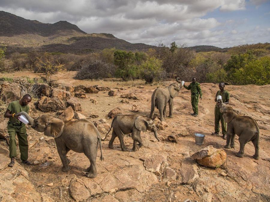 Ami Vitale, 'Nature - Stories' Bbaby elefanti nutriti nel  Reteti Elephant Sanctuary, nord del  Kenya, 11 febbraio 2017. EPA/AMI VITALE / NATIONAL GEOGRAPHIC