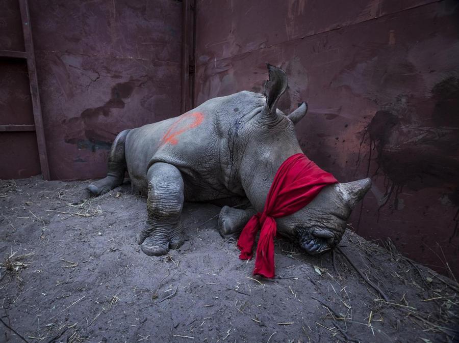 Neil Aldrige , premio categoria 'Environment - Singles' category. Giovane rinoceronte bianco nell'Okavango Delta, Botswana, 21 se4ttembre 2017, dopo il trasferimento dal Sudafrica EPA/NEIL ALDRIDGE