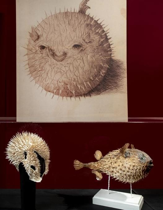 """Foto vetrina:  Katsuya Kamo, Copricapo """"White spikes"""" 2010. Pesce istrice, Firenze, Museo di Storia Naturale, La Specola. (© Antonio Quattrone)"""