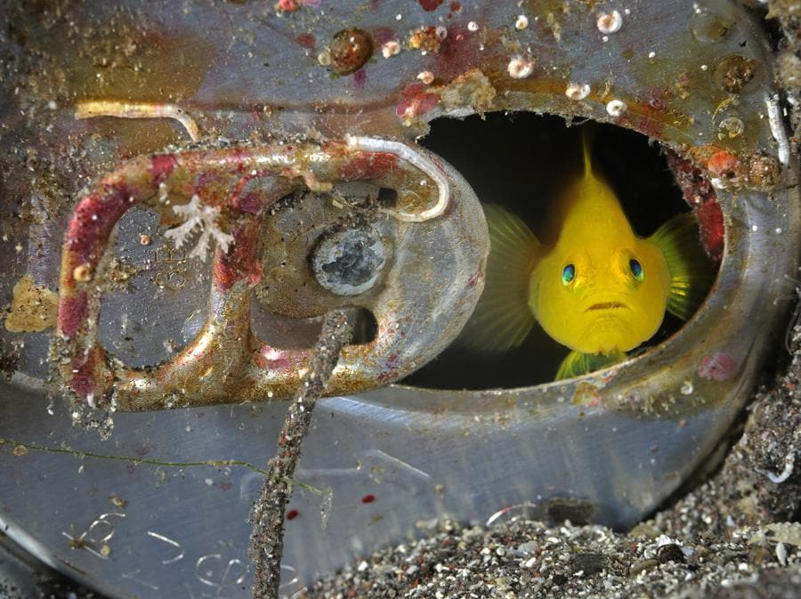 Gli ecosistemi marini di tutto il mondo sono vittime di grave inquinamento da rifiuti di ogni genere: plastica, rottami, mercurio e altri metalli pesanti... fino ai veleni rilasciati da migliaia di bombe inesplose nelle zone di guerra, che giungono a noi propagandosi attraverso le catene alimentari. Qui un gobbio giallo (Gobiodon okinawae) scruta attraverso la finestra della sua casa-lattina (Penisola di Izu, Honshu, Giappone) (foto  Brian J. Skerry)