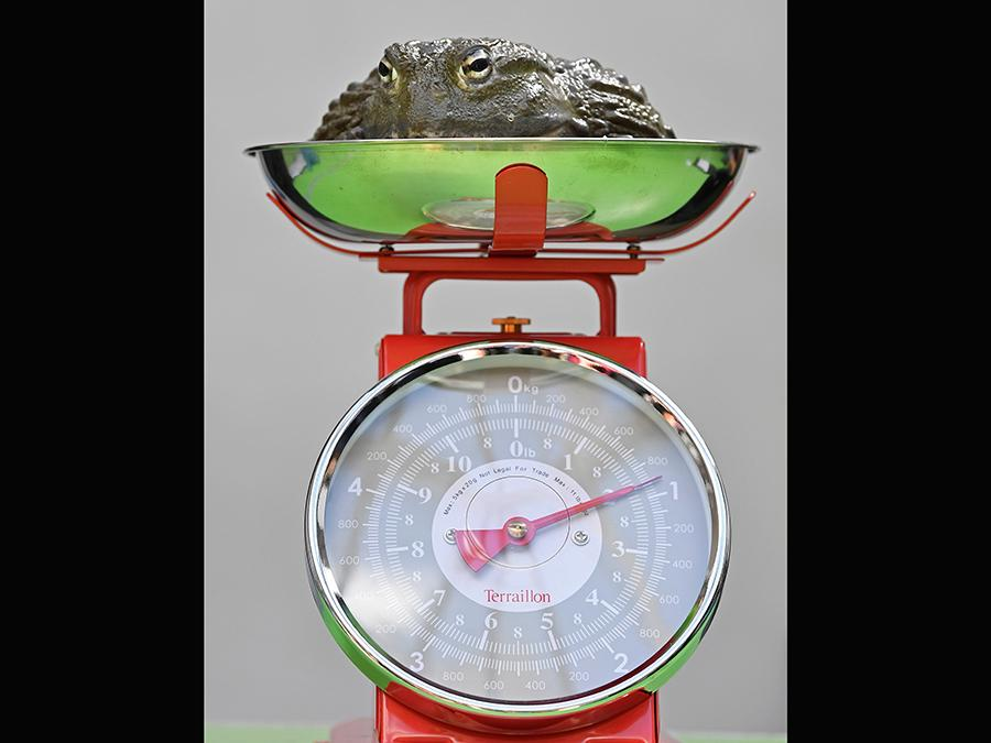 Una rana toro africana sulla bilancia durante  la pesatura allo zoo di Londra REUTERS/Toby Melville