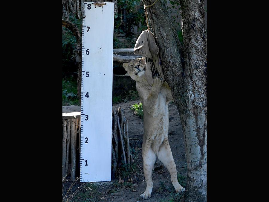 La leonessa asiatica  Heidi   si fa misurare in altezza: far alzare gli animali e misurarli non è sempre un compito facile  REUTERS/Toby Melville