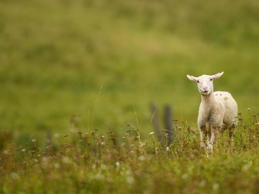 Un agnello nel Mittenwald nella Baviera. (EPA/PHILIPP GUELLAND)
