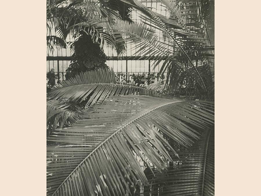 Dora Maar,  Palmier dans une serre, 1935 circa, cm 30,3 x 24, collezione David e Marcel Fleiss, courtesy Galerie 1900 2000, Paris, © Dora Maar by Siae 2019