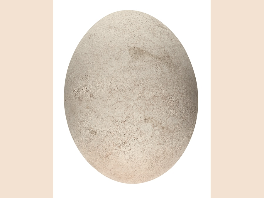 Uovo di uccello elefante, 17esimo secolo