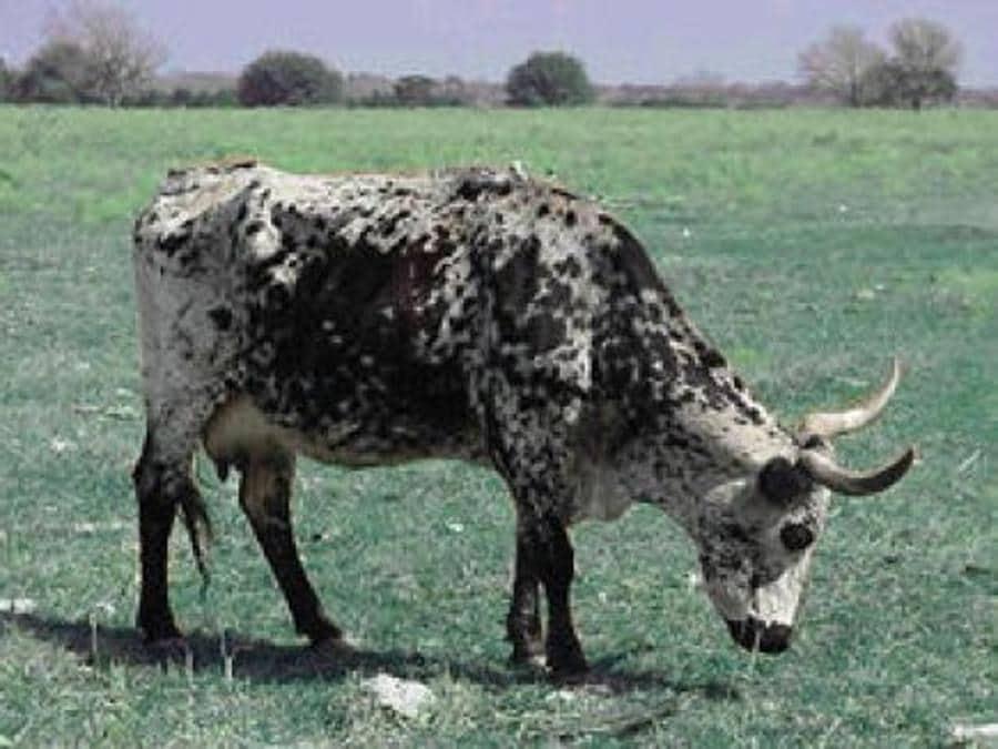 La mucca Ofelia di George Bush