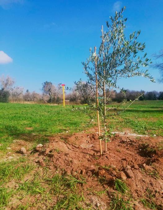 Giovane pianta di ulivo di varietà resistente alla xylella lungo il percorso del gasdotto a Melendugno  piantumazione novembre 2020
