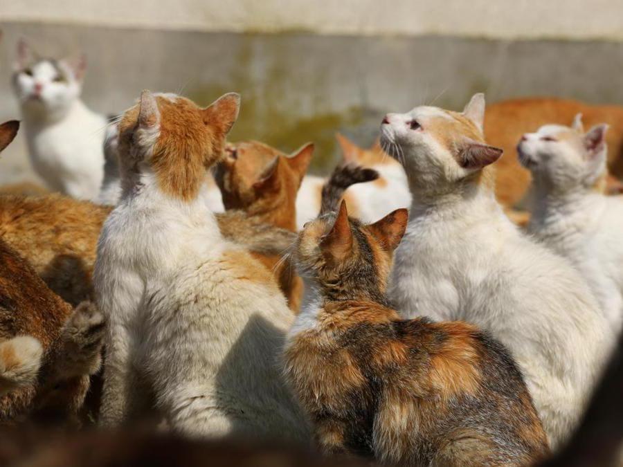 """L'isola di Aoshima è una delle  """"cat islands"""" in Giappone; sono piccoli luoghi dove ci sono significatamente più residenti felini che persone. Le immagini  sono del fotografo Kei Nomiyama"""