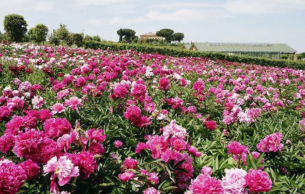 LAZIO: Centro Botanico Moutan a Vitorchiano (VT): un'intera collina sulla quale crescono migliaia di peone cinesi