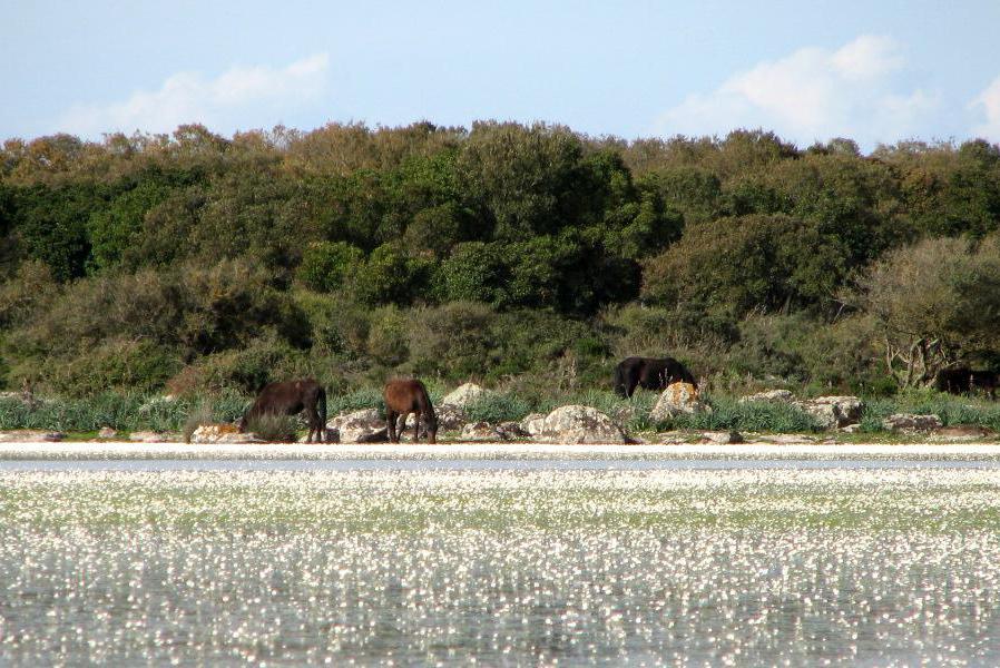 SARDEGNA: Parco Guarda di Gesturi e i cavallini selvatici, a Tuili (VS): all'interno del Parco della Giara di Gesturi vivono i cavallini della Giara, tipica razza sarda che viene da un incrocio tra il cavallo normale e il pony. Per questo, la loro caratteristica principale è la bassa statura, al massimo un metro e venti di altezza, che si è adattata perfettamente all'ambiente che li circonda, un altopiano con cibo e acqua abbondanti in inverno e primavera, scarsi in estate e autunno. Vivono allo stato brado, ma di tutta la Sardegna è possibile osservarli solo in quest'area dell'isola. Il loro ambiente di vita è caratterizzato da una vegetazione ricca della macchia mediterranea, con specie botaniche autoctone, lecci (Quercus ilex) e quercia da sughero (Quercus suber).