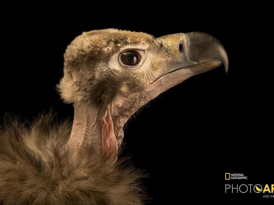 L'avvoltoio reale indiano, in pericolo critico di estinzione in Asia