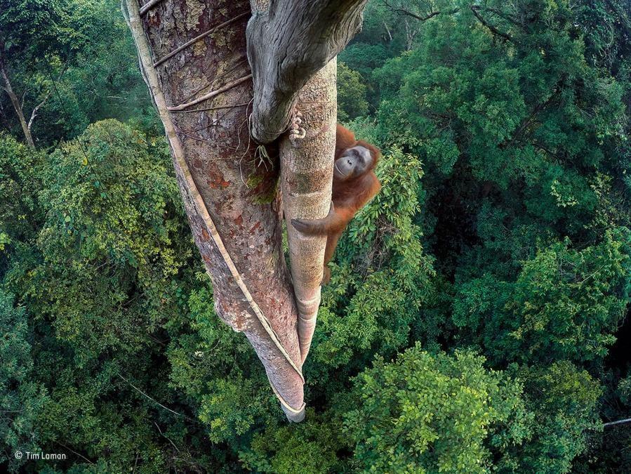 Vite intrecciateTim Laman, UsaVincitore, Wildlife Photographer of the Year 2016Un giovane maschio di orangotango del Borneo indonesiano si arrampica su un fico strangolatore del Gunung Palung National Park. Per avere uno scatto frontale del primate, Laman ha impiegato tre giorni a posizionare fotocamere GoPro, arrampicandosi lui stesso in cima all'albero