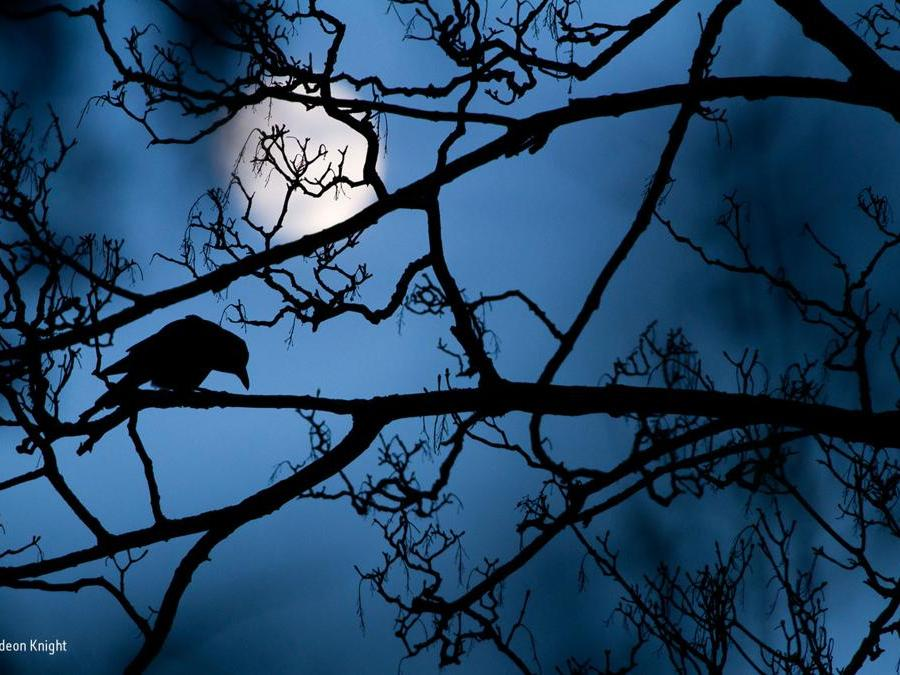 La luna e il corvoGideon Knight , Uk Vincitore, Young Wildlife Photographer of the Year 2016Ha invece sedici anni l'autore del miglior scatto per la categoria giovani: Knight ha catturato la silhouette di un corvo e del sicomoro su cui riposa nel Valentines Park vicino casa sua a Londra. Poetiche figure nere che si stagliano contro il profondo blu e la luna di un magico cielo notturno.