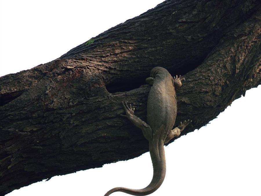 """Tentativo di sfrattoGanesh H Shankar , IndiaVincitore, Categoria UccelliPappagallini rosati nel Keoladeo National Park in India tentano di scacciare un varano del Bengala che si è appropriato del loro nido all'interno di una cavità di un albero. Per due giorni Ganesh ha osservato """"azioni di disturbo"""" che duravano al massimo due secondi, tra le quali il morso alla coda dello scatto vincitore. Alla fine hanno dovuto desistere."""