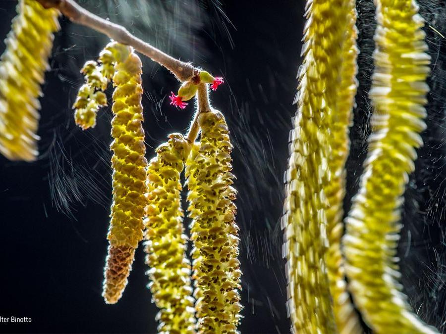 Composizione del ventoValter Binotto, ItaliaVincitore categoria Piante e FunghiAd ogni soffio del vento, vengono rilasciate cascate di pollini, illuminate dal sole invernale. L'albero di nocciole era vicino alla casa di Valter, nel nord Italia, e, per creare uno sfondo scuro, il fotografo si è posizionato in modo da avere i fiori in controluce. Il nocciolo presenta sullo stesso albero fiori maschi e femmine, in modo che il polline sia trasportato di ramo in ramo per la riproduzione.