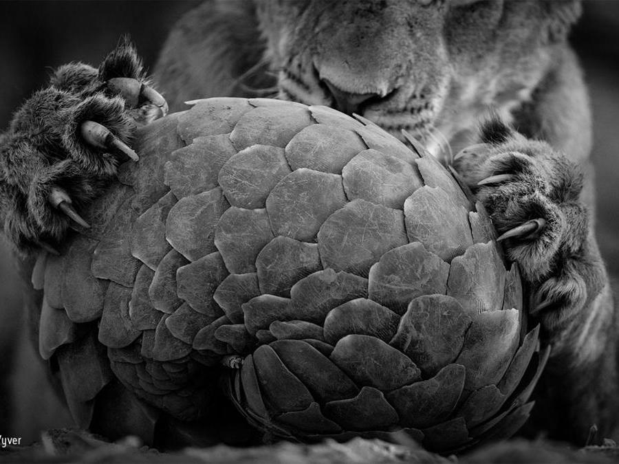 Il gioco del pangolinoLance van de Vyver, Nuova Zelanda/SudafricaFinalista, categoria Bianco & NeroUn leone della riserva Tswalu Kalahari Private Game in Sudafrica ha stanato un pangolino di Temminck, mammifero notturno che si nutre di formiche e possiede un'armatura di scaglie composte di porzioni di pelo. Quando si sente minacciato si appallottola in una sfera quasi inespugnabile. I pangolini solitamente se la cavano dopo un incontro con grossi felini (ma non dall'uomo, il cui sfruttamento per la medicina tradizionale sta seriamente minacciando questa specie).