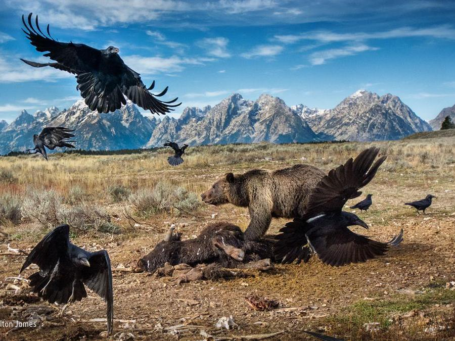 """Impasse nel selvaggio westCharlie Hamilton James, UkFinalista, categoria MammiferiUn orso grizzly lotta contro dei corvi imperiali per aggiudicarsi una parte del banchetto. Accade nel Gran Teton National Park, parte dell'ecosistema del Greater Yellowstone negli Stati Uniti occidentali, dove i grizzly vagabondano. """"E' estremamente pericoloso avvicinarsi a un orso al momento del suo pasto"""" commenta Charlie, che ha impiegato cinque mesi per ottenere lo scatto giusto."""
