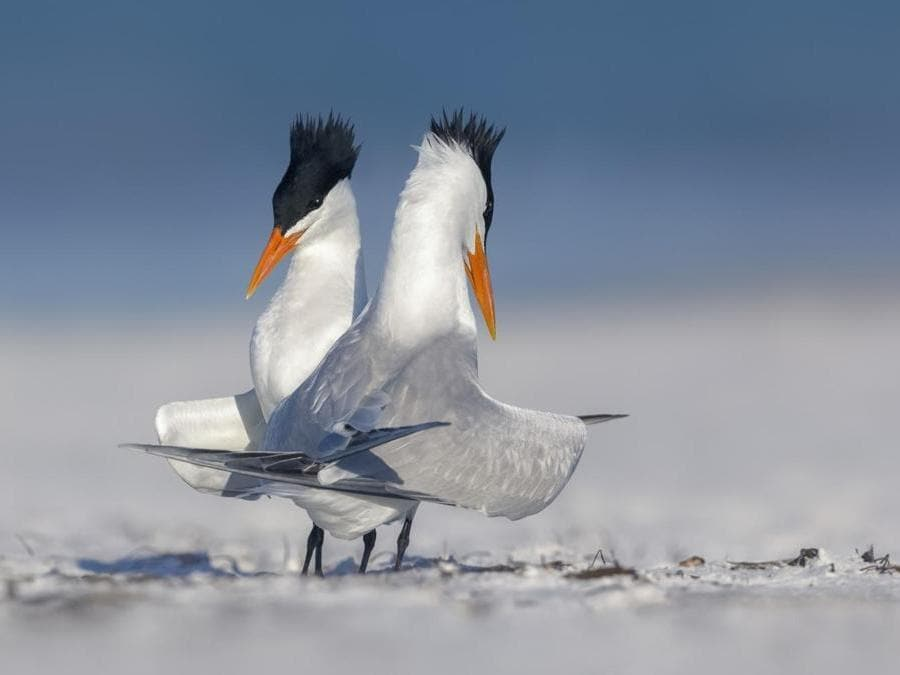 """Royal coraggioso: due Royal Terns nel corteggiamento display"" di Kristian Bell."