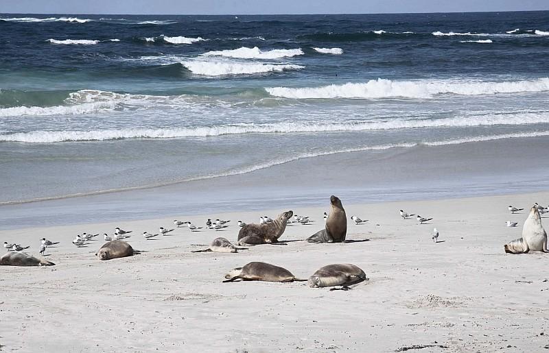 Seal Bay, area che protegge i leoni marini di Kangaroo Island,(Credit Tourism Australia)