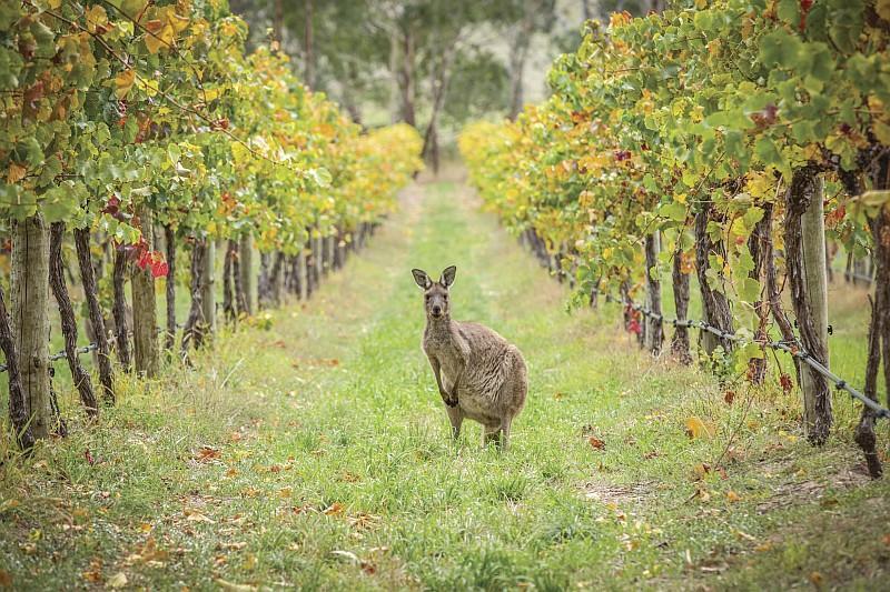 Un canguro tra le vigne del South Australia (Credit:Tourism Australia /ph Greg Snell)
