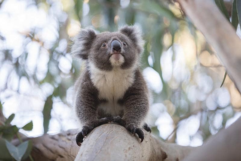 Un Koala a Kangaroo Island (Credit:Tourism Australia /ph Greg Snell