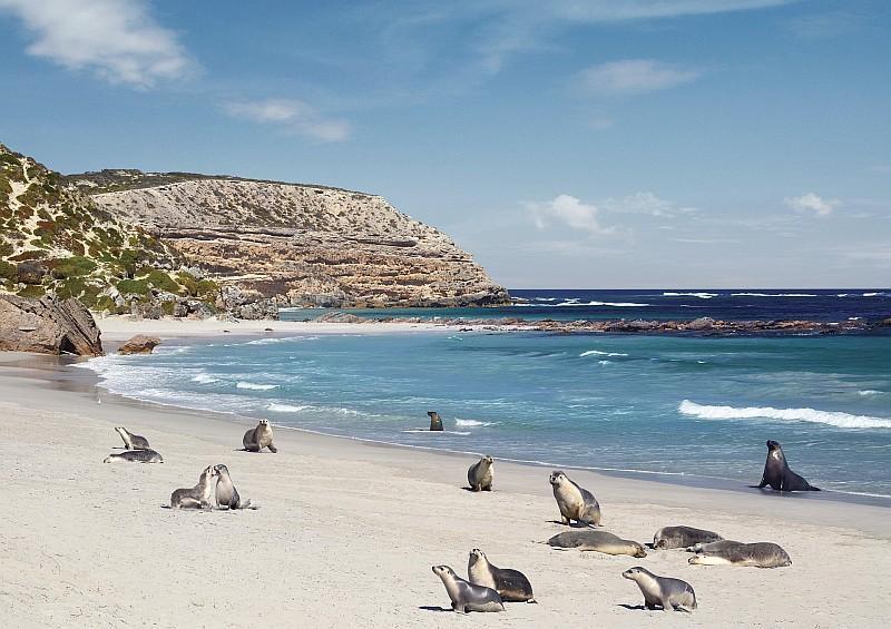 I leoni marini di Seal Bay Conservation Park, Kangaroo Island (Credit: South Australian Tourism Commission /ph Paul Torcello)