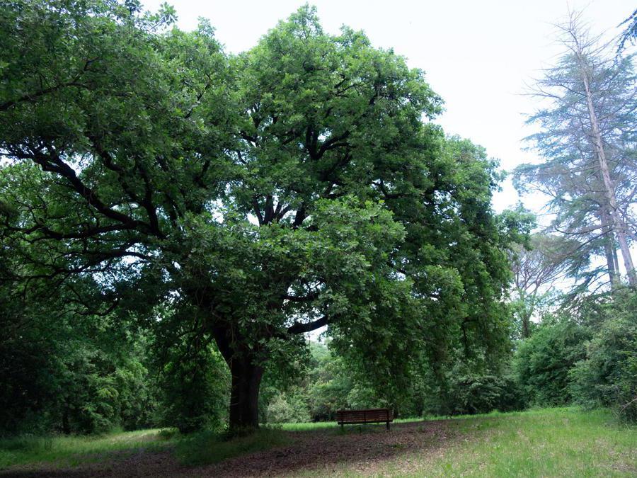 Borgo dei Conti. Una quercia all'interno dell'ampio e suggestivo parco (Credit: Franco Sarcina)