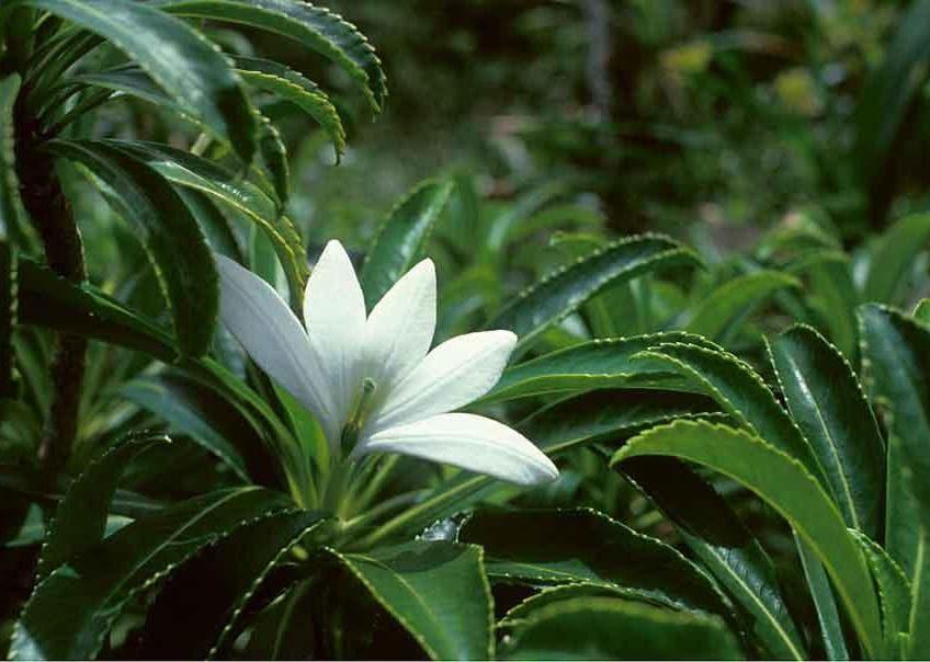 Il leggendario Tiare Apetahi, un fiore a rischio di estinzione che si può ammirare lungo i sentieri del monte Temehani, a Raiatea (PH S. Kobayashi)