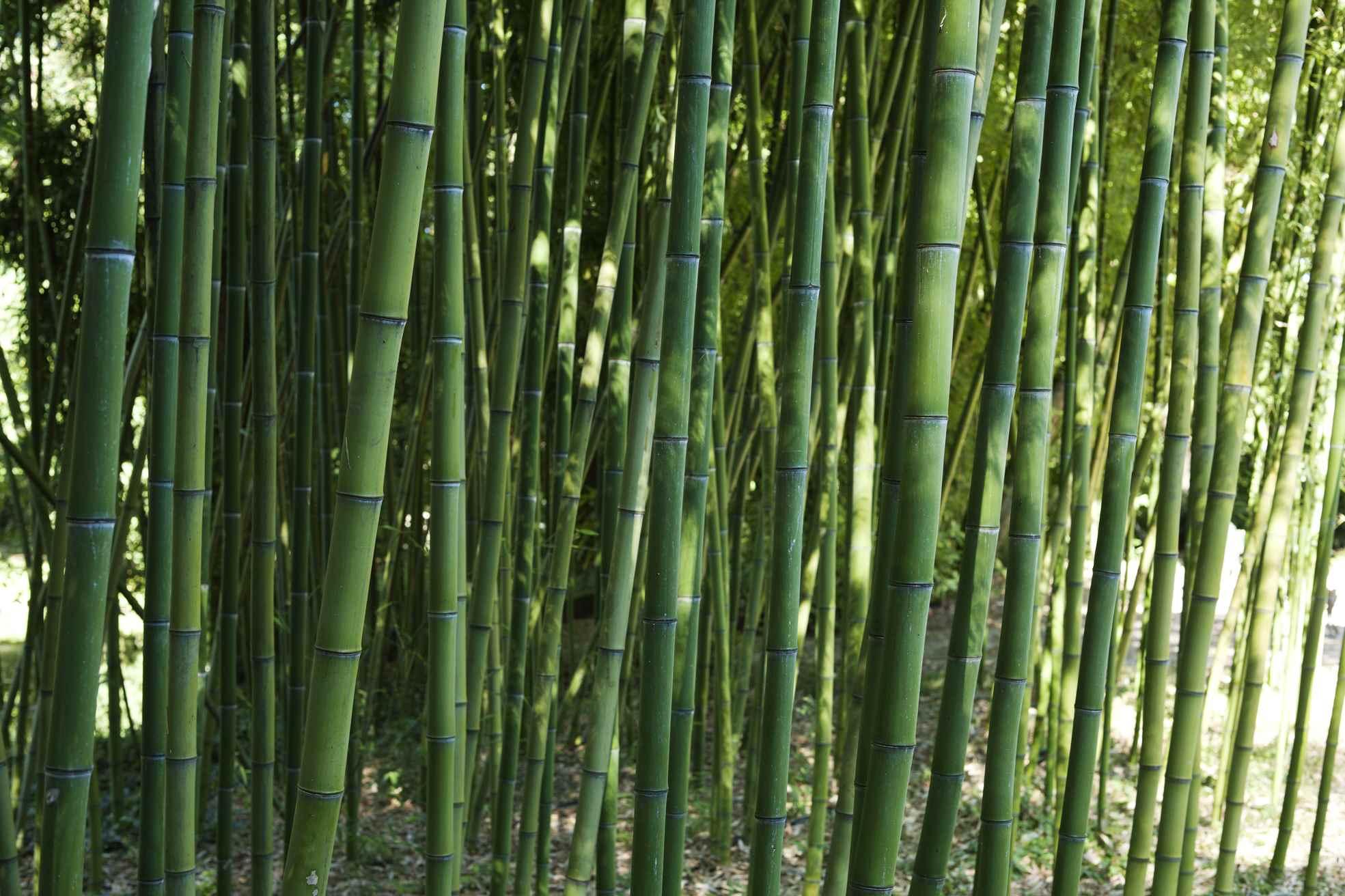 Bambù (Marco Campanini)